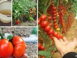Попшикайте этим средством на огурцы и помидоры — и они никогда не будут «болеть»!
