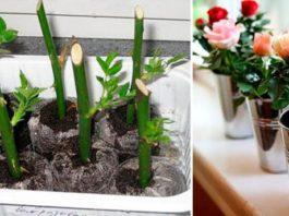 Вот как надо сажать уже срезанные розы, чтобы они росли!