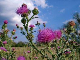 Все сорняки лечат — советы монастырской травницы