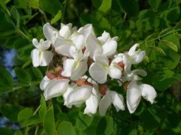 Скоро зацветет акация — ее ароматные цветочки способны вылечить многие болезни. Соберите и засушите, избавитесь от многих проблем со здоровьем