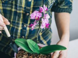 Орхидеи цветут как неукротимые. А все благодаря необычному поливу