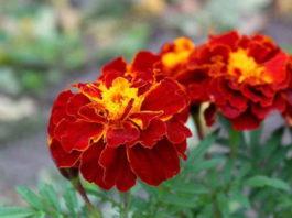 Красивые и полезные бархатцы — чай всего с одним цветком способен «вытянуть» 100 болезней